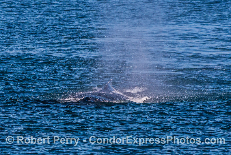 Image 1 of 2:  a humpback whale comes directly at the camera.