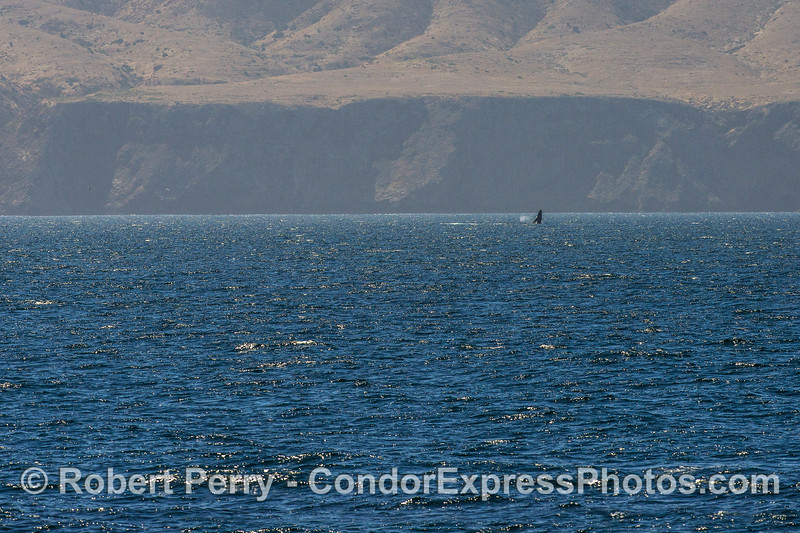 A humpback whale breaches near the sea cliffs of Santa Cruz Island