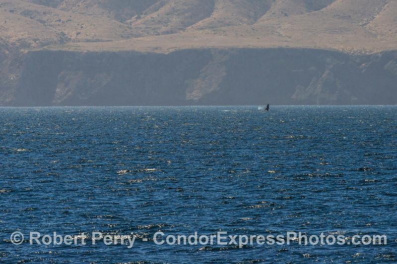 A humpback whale breaches near the sea cliffs of Santa Cruz Island