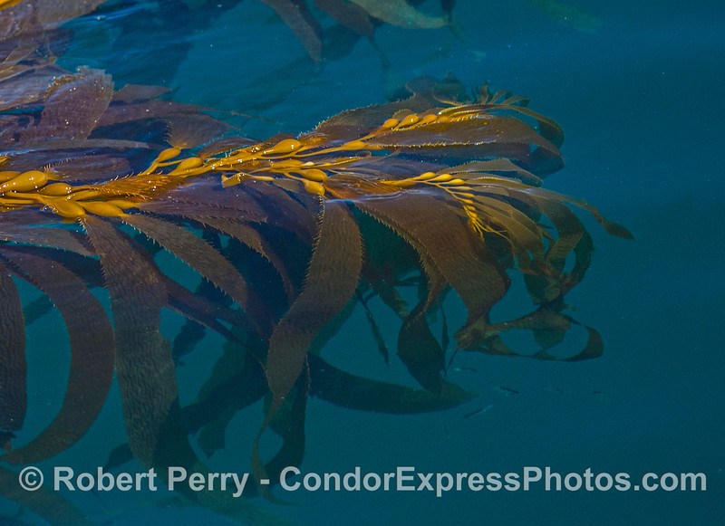 Apical fronds, giant kelp (Macrocystis pyrifera) floating open ocean paddy