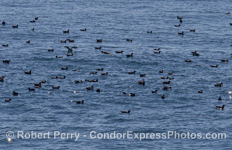 Black-vented shearwaters resting on surface