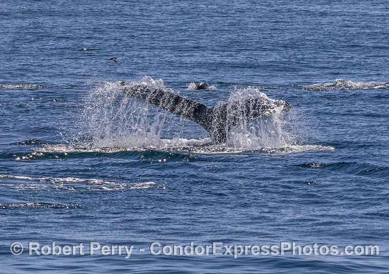 Humpback tail flukes