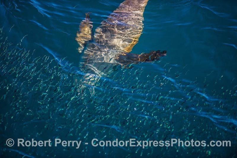 California sea lion hunting in a bait ball