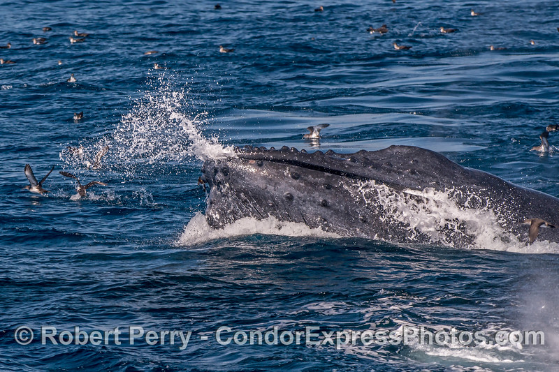 Whale spitting - water ejection through mouth and baleen during later stages of feeding.