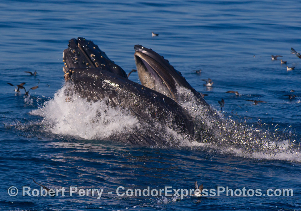 Thousands of tiny fish explode from the surface and jump from the gaping mouth of a pair of surface lunge-feeding humpback whales.
