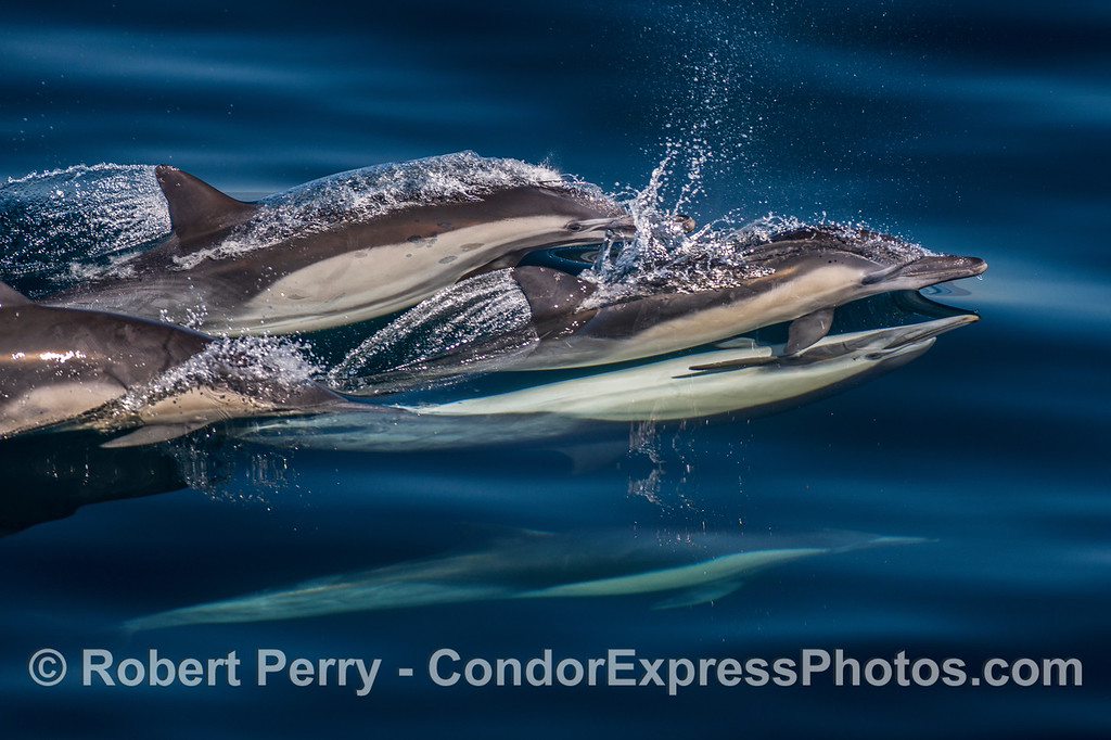 High speed mating - long-beaked common dolphins.