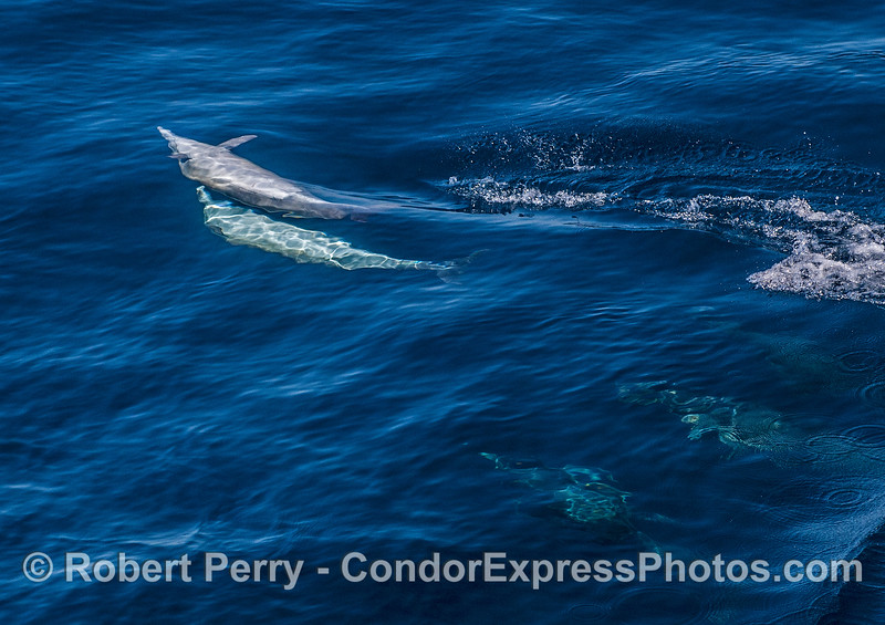 A male long-beaked common dolphin (bottom) being rejected by female (top)