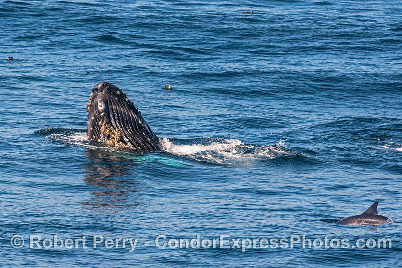 A humpback whale spyhops...its white pectoral fins glow beneath the surface...a long-beaked common dolphin is nearby.