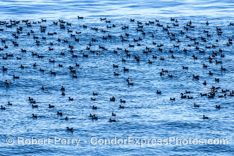 Lots of resting black-vented shearwaters