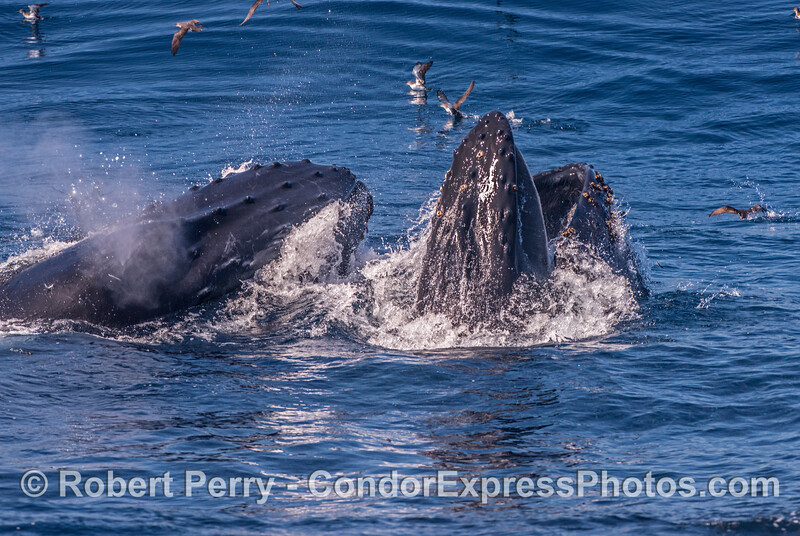 A shot from the dorsal aspect - two lunge-feeding humpback whales.  One has shut its mouth and is spouting.  The other's mouth is open and baleen is visible.