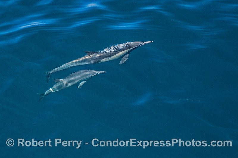 Mother and calf  -  long-beaked common dolphins