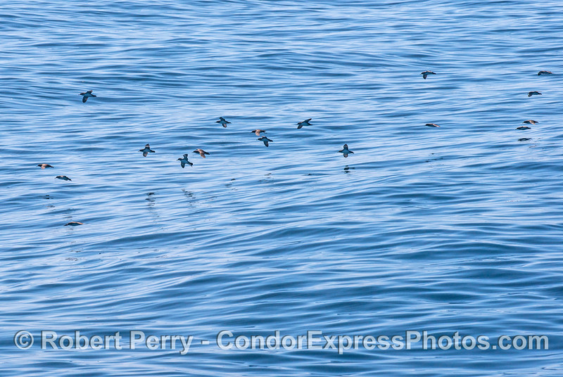 Black-vented shearwaters in flight - riding the uplifted air in front of the on-coming wave.