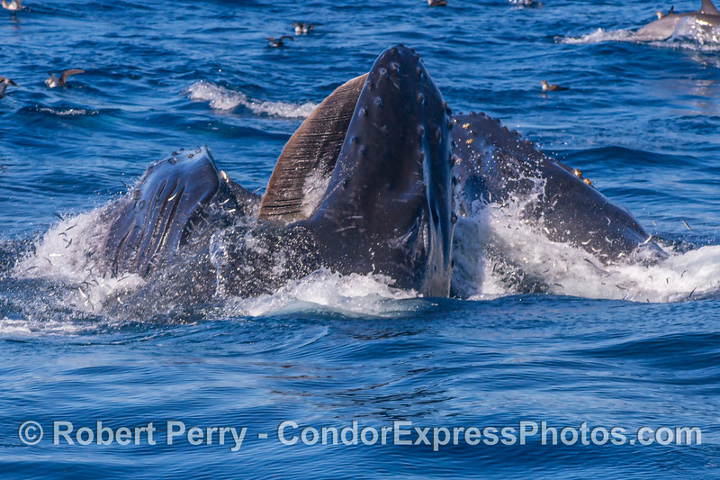 Two whales synchronize lunge-feeding...a nice shot of the baleen along the left side of the upper jaw of the closest whale...bait fish jumping.