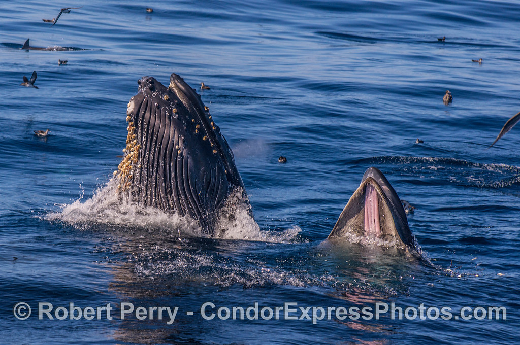 Two side-by-side vertical lunge-feeding humpback whales.  See close-up view of mouth, baleen and fish in next image.