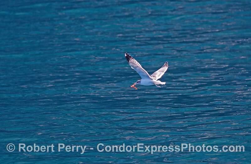 Gull with pelagic red crab
