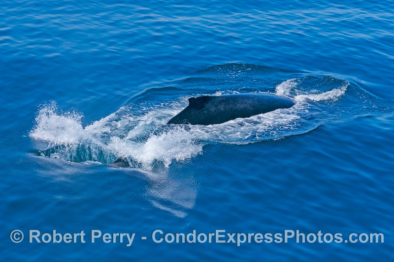 A humpback whale fools around with its tail flukes