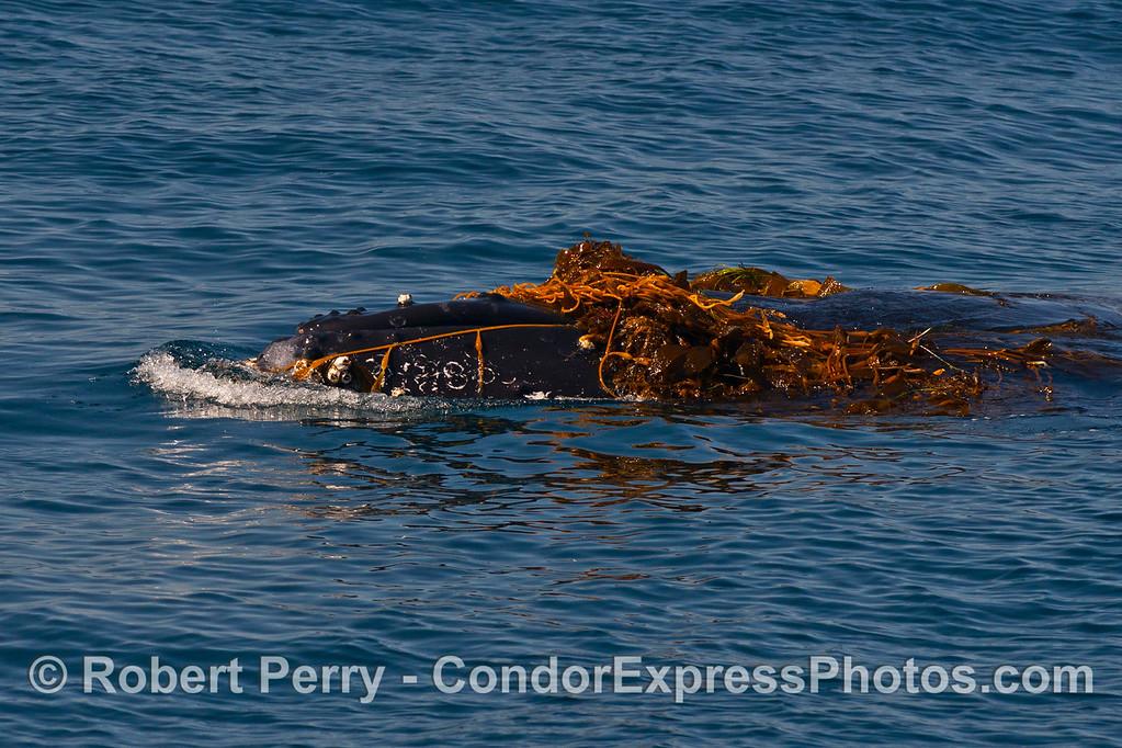 Humpback whale kelping