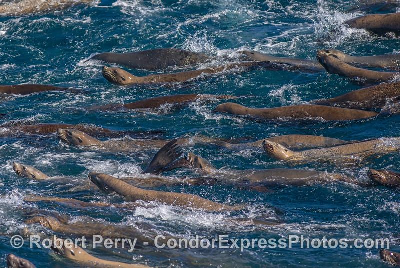 California sea lion mega mob