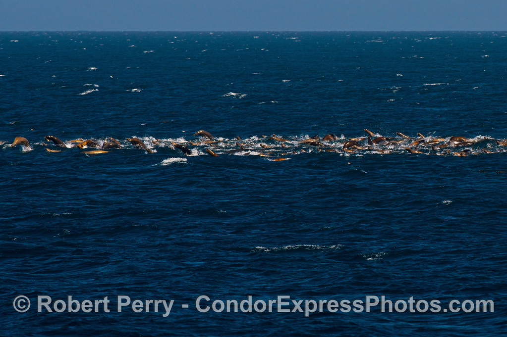 California sea lion mega mob