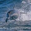 Delphinus capensis leaping 2017 10-07 SB Channel-035