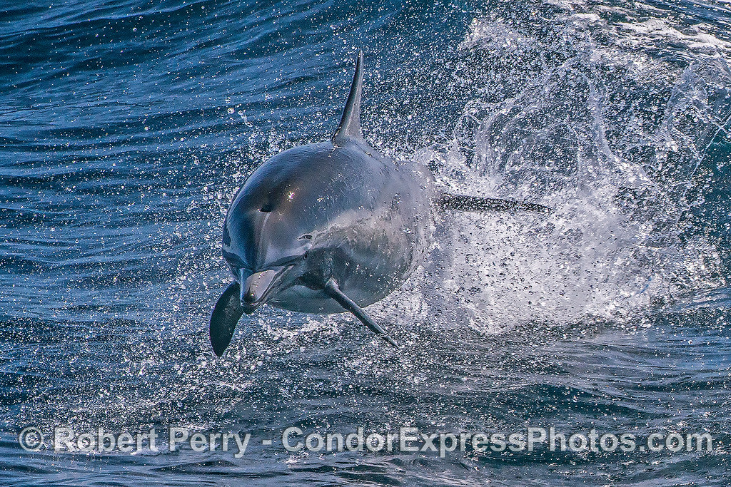 Delphinus capensis leaping 2017 10-07 SB Channel-035