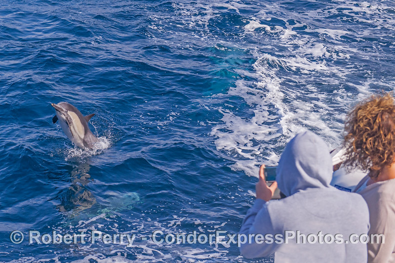 Dolphin fans take some iPhone pix of a leaping long-beaked common dolphin