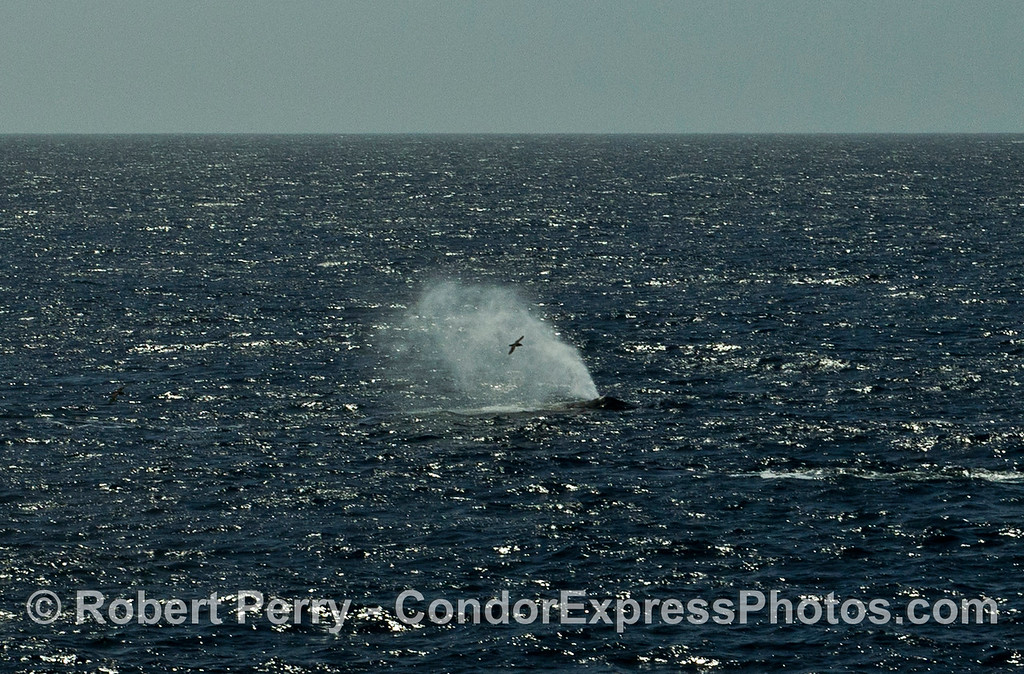 Afternoon sun highlights a lone black-vented shearwater in the wind-driven spout spray of a humpback whale