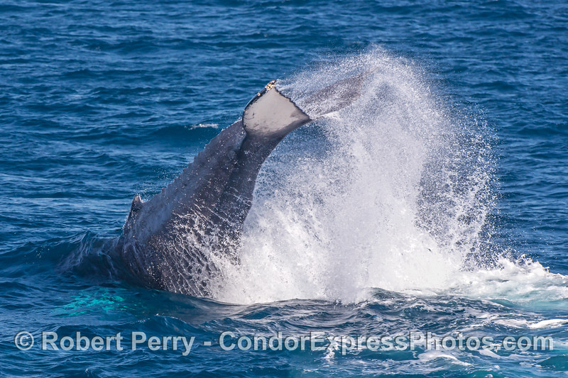 A white-tailed humpback whale does a monster tail throw