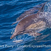 Long-beaked common dolphin - close up portrait