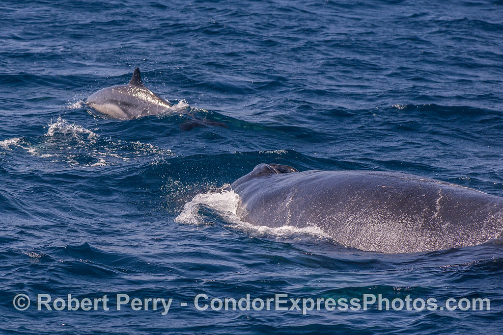 """Common dolphin sentinel """"rides"""" ahead of a humpback whale"""