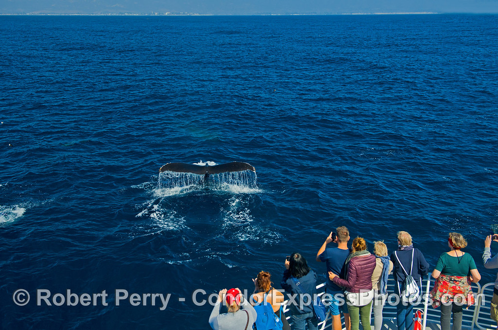 Whale fans have a wonderful photo op as a friendly whale shows its tail flukes