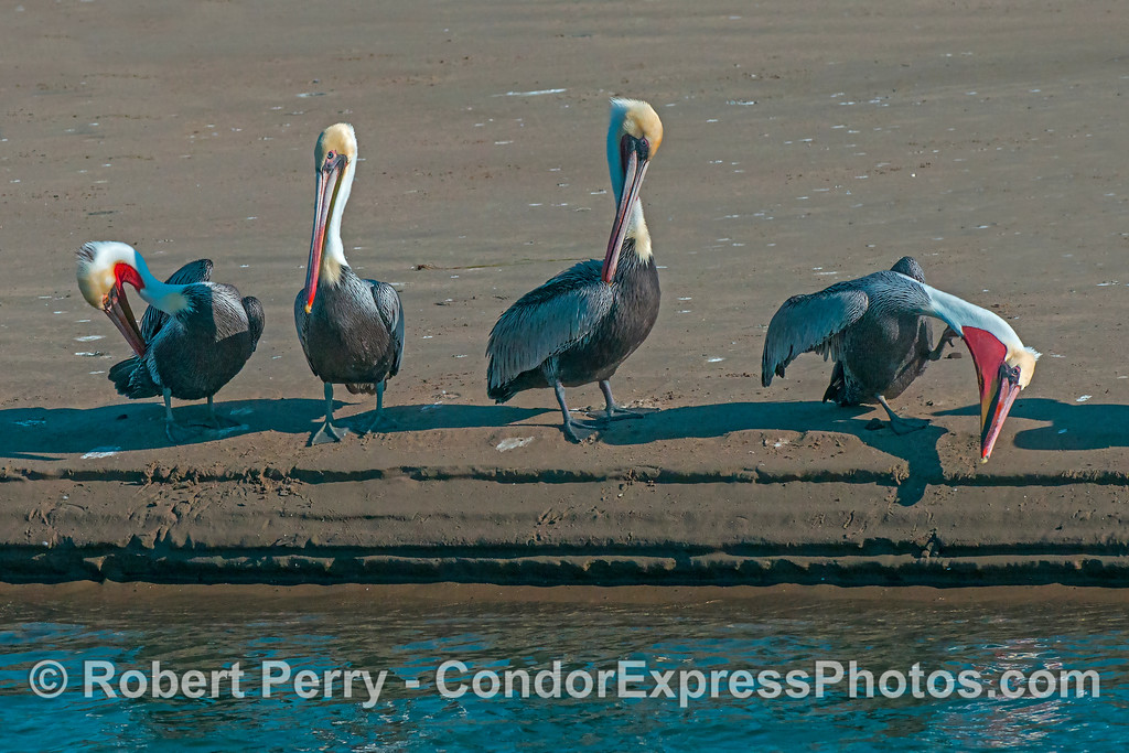 Four brown pelicans on the beach.
