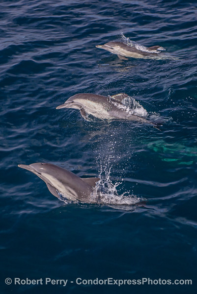 Los tres amigos - long beaked common dolphins.