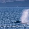 A giant blue whale creates a dark bow wave.