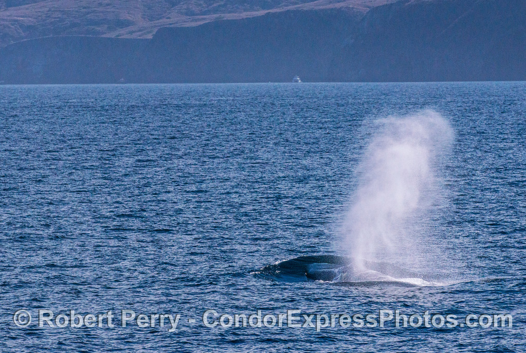 A giant blue whale creates a dark bow wave.