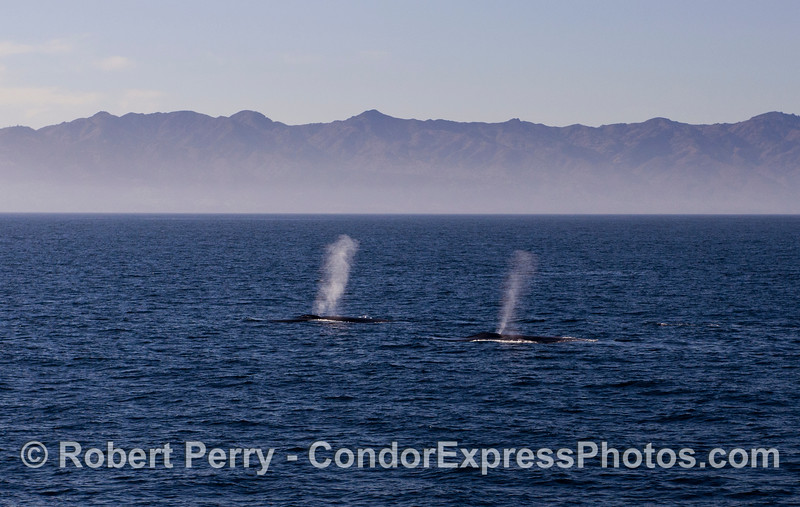 Two giant blue whales - Santa Cruz Island in back.