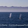 Two giant blue whales - Santa Cruz Island in back.