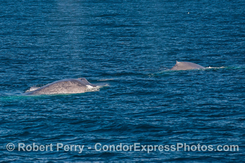 A pair of giant blue whales.