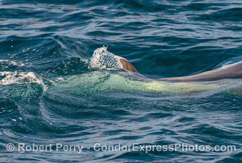 Interesting dolphin dorsal fin patterns.
