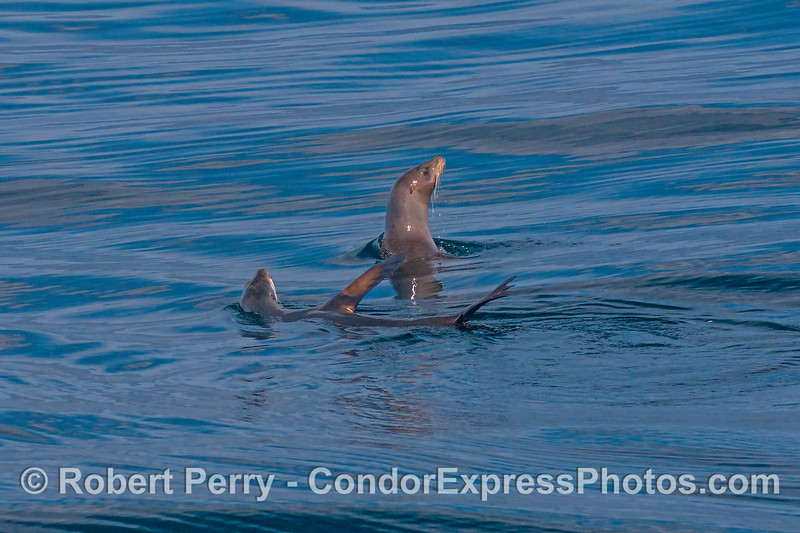 Two California sea lions.