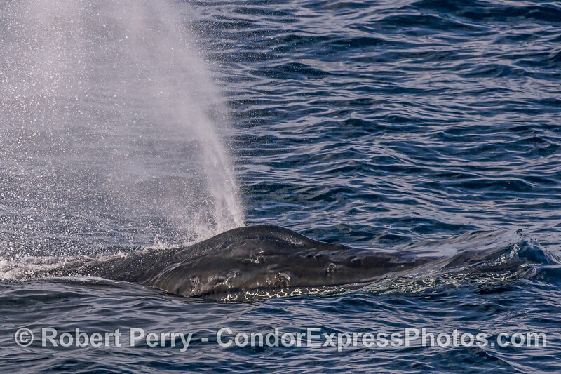 Here comes a knobby-headed humpback whale!
