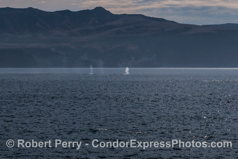 Two blue whales are seen spouting with the sea cliffs of Santa Cruz Island in back.