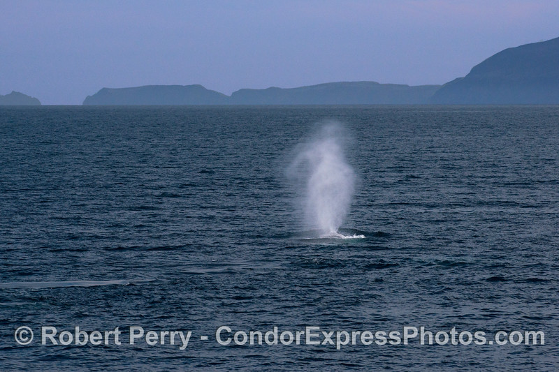 Anacapa Island forms a back drop for a spouting giant blue whale.