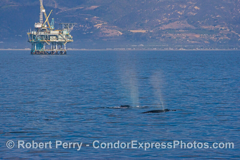 Two humpback whales with the Carpinteria coastline and an offshore oil platform.