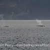 Giant blue whales near Santa Cruz Island.
