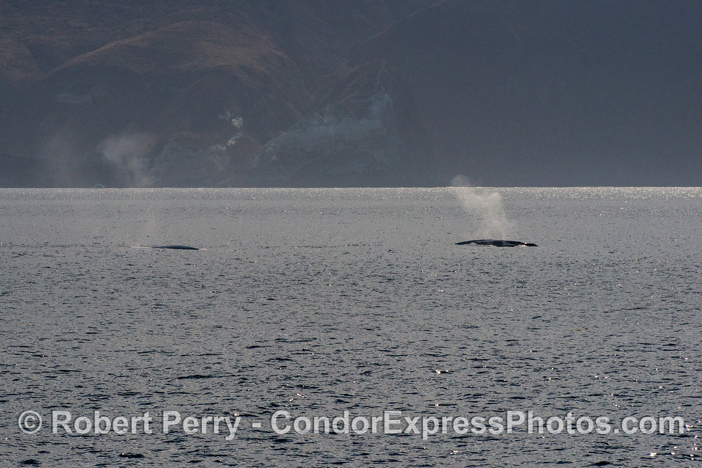 Giant blue whales near Santa Cruz Island.