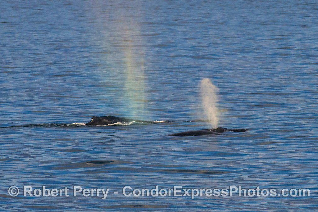 Two humback whales and an almost rainbow spout.