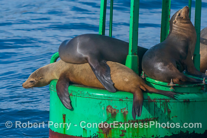 California sea lions on the harbor entrance buoy - Santa Barbara Harbor.