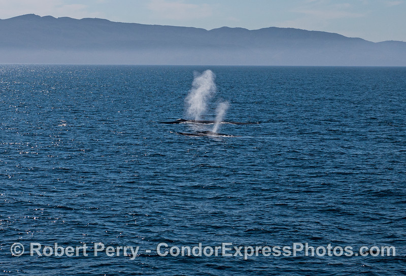 Dual spouts from giant blue whales in a light ocean breeze.
