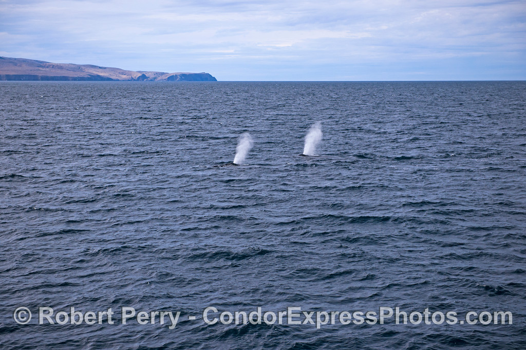 Twin humpback whale spouts with Santa Cruz Island in the back.